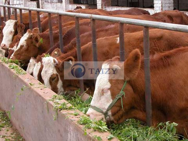 silage-for-cattle